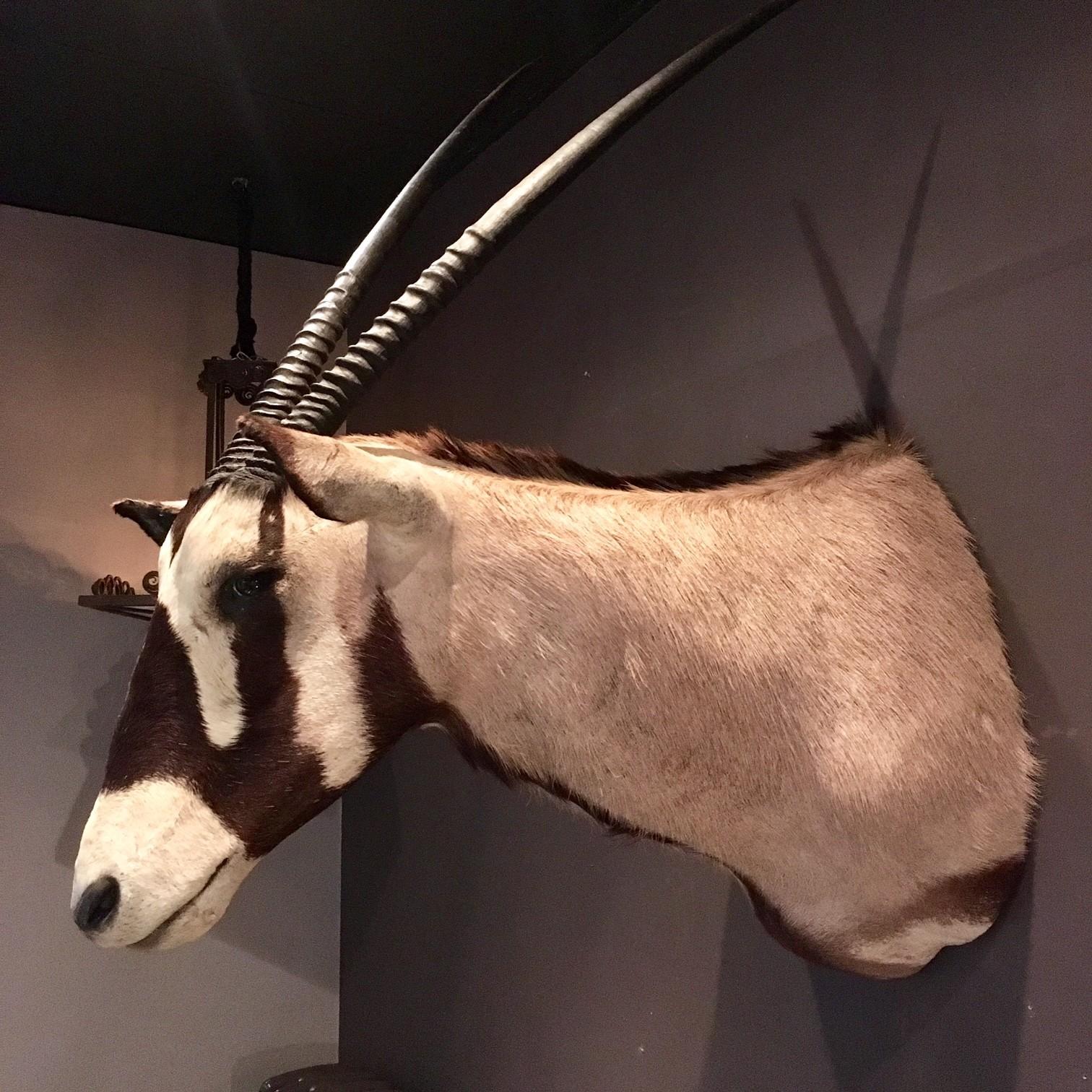 Beautiful large head of an Oryx